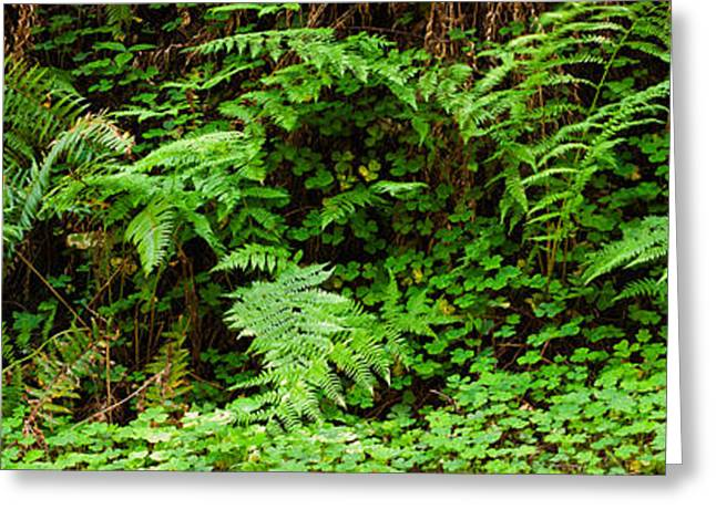 Ferns In Front Of Redwood Trees Greeting Card by Panoramic Images