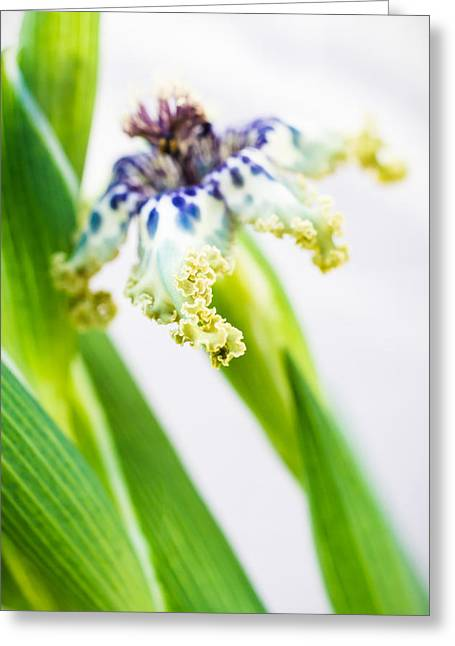 Ferraria Crispa Greeting Card by Priya Ghose
