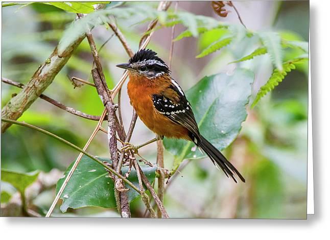 Ferruginous Antbird Drymophila Greeting Card by Leonardo Mer�on