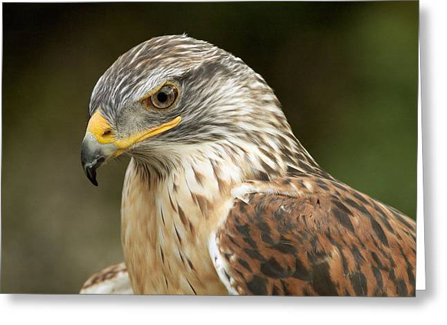 Greeting Card featuring the photograph Ferruginous Hawk by Doug Herr
