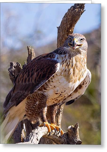 Ferruginous Hawk Greeting Card