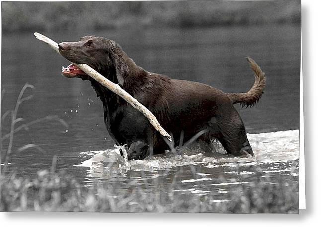 Fetch- Labrador Retriever Digital Art Greeting Card by Gerald Marella