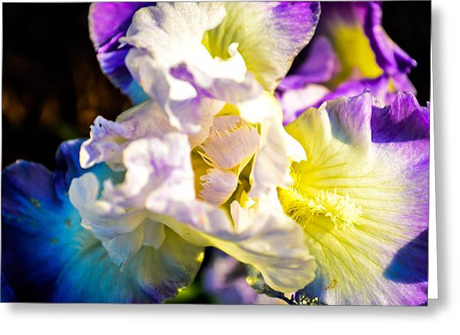 Fickle Iris  Greeting Card