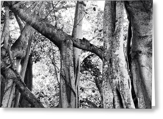 Ficus Altissima In Black And White Greeting Card