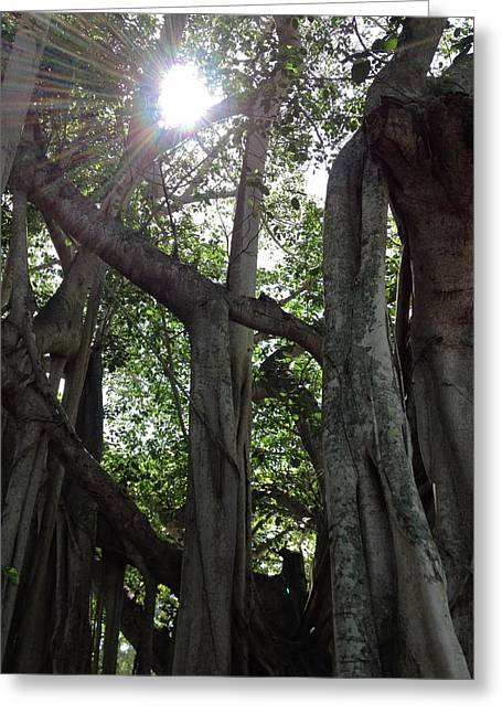 Ficus Altissima Greeting Card by K Simmons Luna