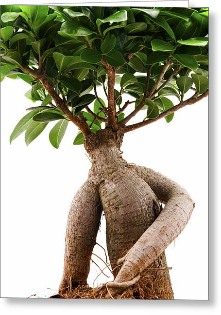 Ficus Ginseng Greeting Card by Fabrizio Troiani