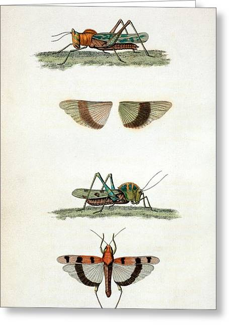 Field Crickets Greeting Card by General Research Division/new York Public Library