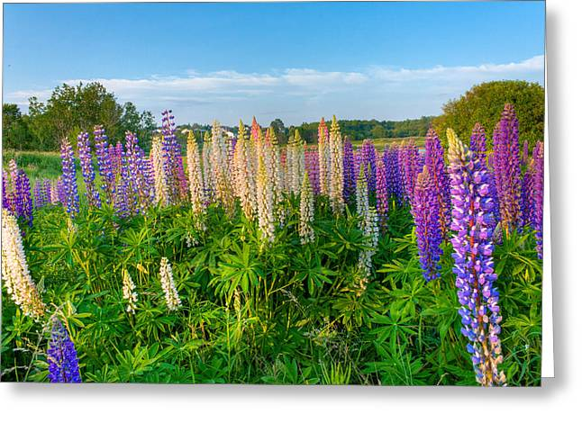 Field Filled With Lupins Greeting Card by Matt Dobson