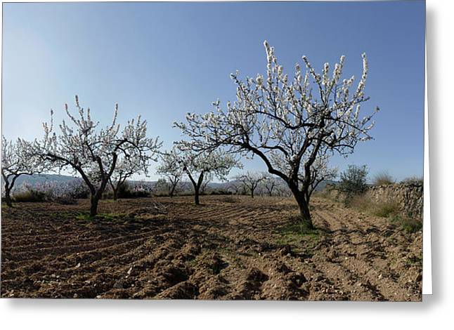 Field Of Blooming Almond Trees Greeting Card by Panoramic Images