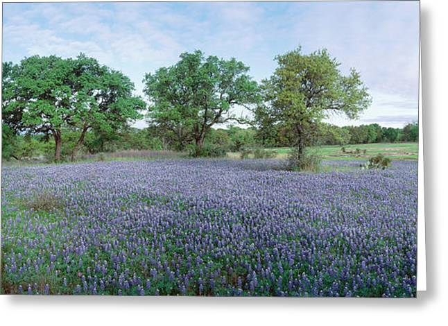 Field Of Bluebonnet Flowers, Texas, Usa Greeting Card by Panoramic Images