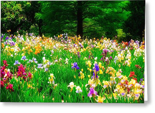 Field Of Iris Greeting Card
