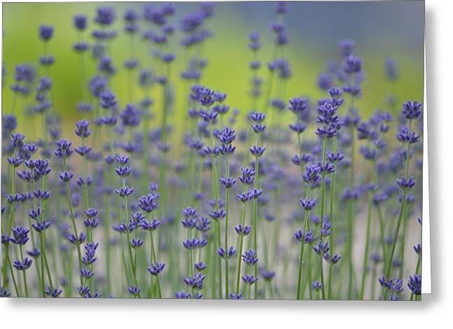 Field Of Lavender Flowers Greeting Card by P S