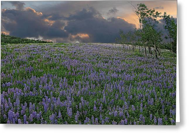 Field Of Lupine Greeting Card by Ed Hall