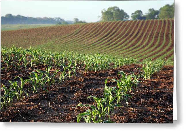 Field Of Maize Greeting Card by Jim West