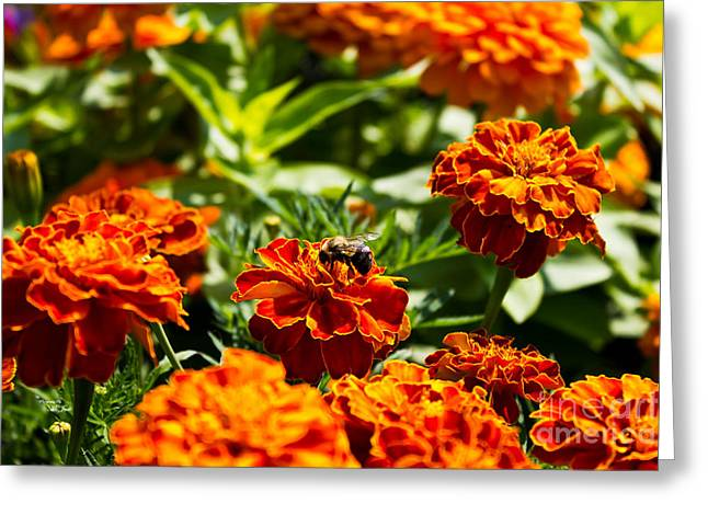 Field Of Marigolds Greeting Card