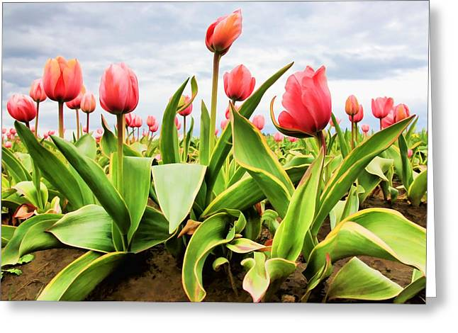 Field Of Pink Tulips Greeting Card by Athena Mckinzie
