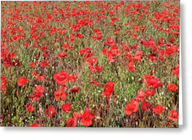 Field Of Poppies In Bloom Greeting Card