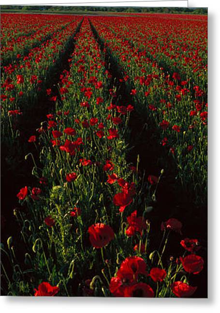 Field Of Poppies Greeting Card by Panoramic Images