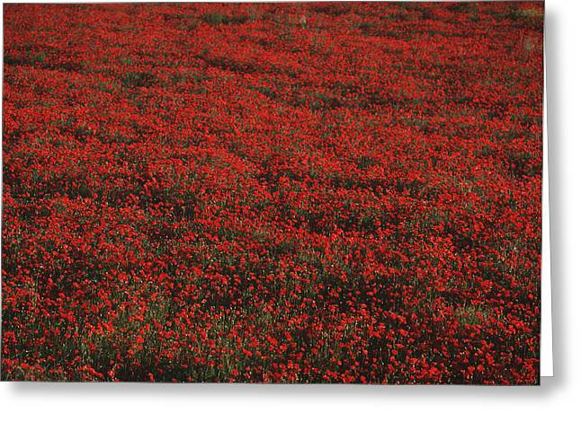 Field Of Red Poppies Greeting Card by Ian Cumming