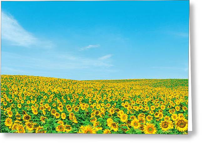 Field Of Sunflower With Blue Sky Greeting Card