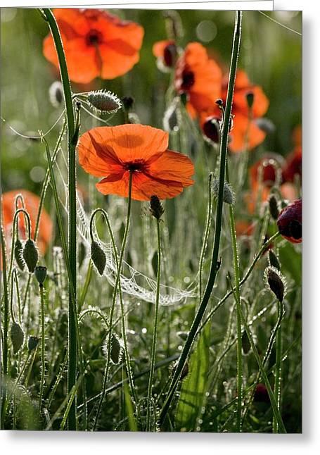 Field Poppy (papaver Rhoeas) Flowers Greeting Card