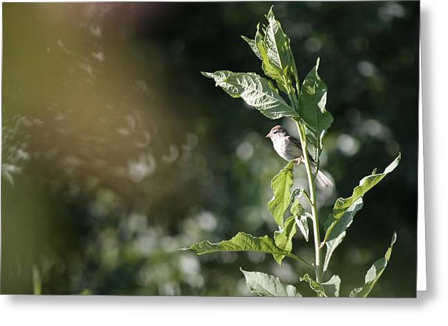 Field Sparrow Greeting Card by Melinda Fawver