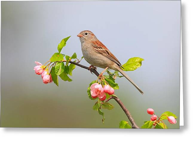 Field Sparrow On Apple Blossoms Greeting Card by Daniel Behm