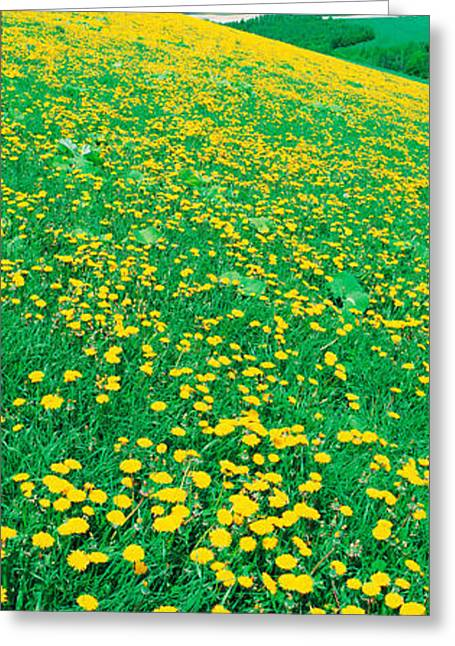 Fields Of Dandelions Hokkaido Biei-cho Greeting Card by Panoramic Images