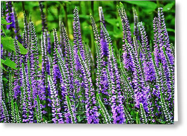 Fields Of Lavender Greeting Card by Pat Cook