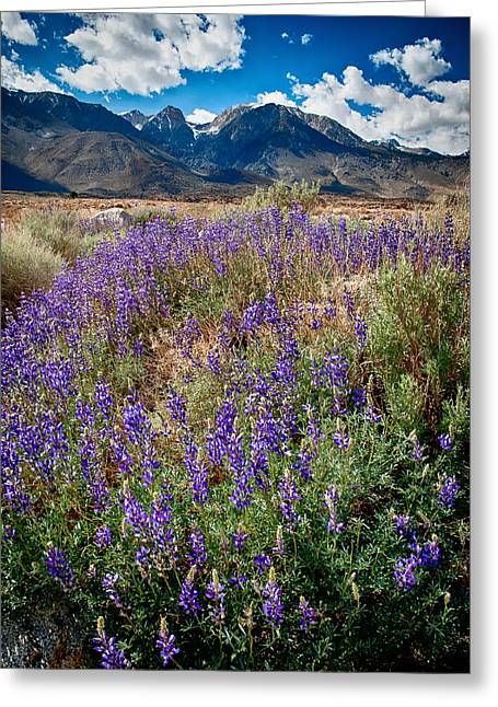 Fields Of Lupine Greeting Card