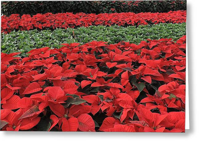 Fields Of Poinsettias Greeting Card