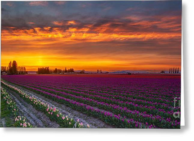 Fiery Skies Above Broad Tulips Greeting Card