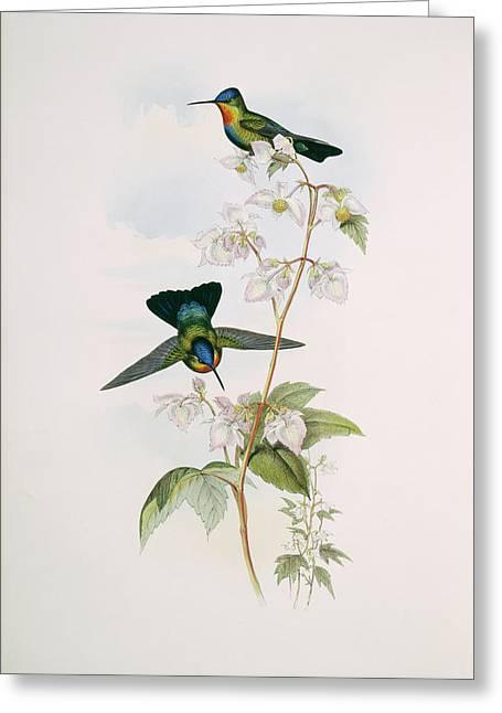 Fiery-throated Hummingbirds Greeting Card