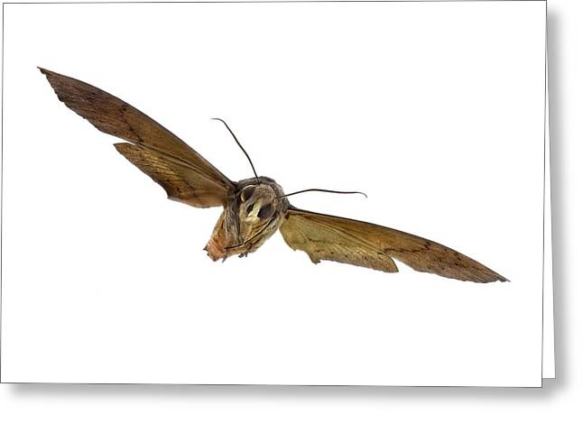 Fig Sphinx Moth Greeting Card by F. Martinez Clavel