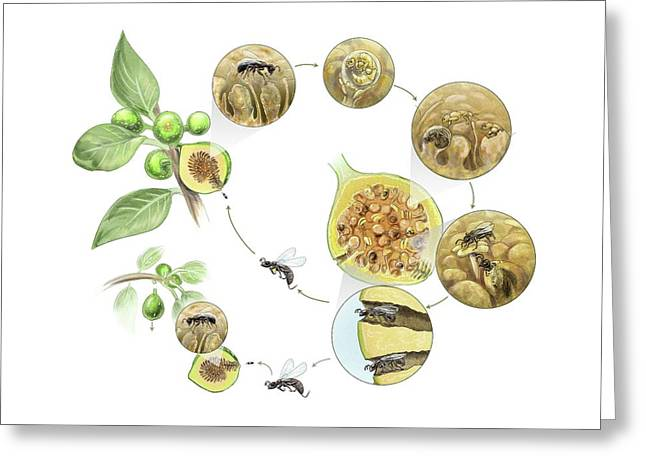Fig Wasp Life Cycle Greeting Card by Nicolle R. Fuller