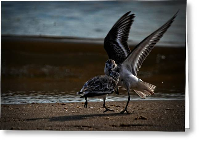 Fighting Sandpipers Greeting Card