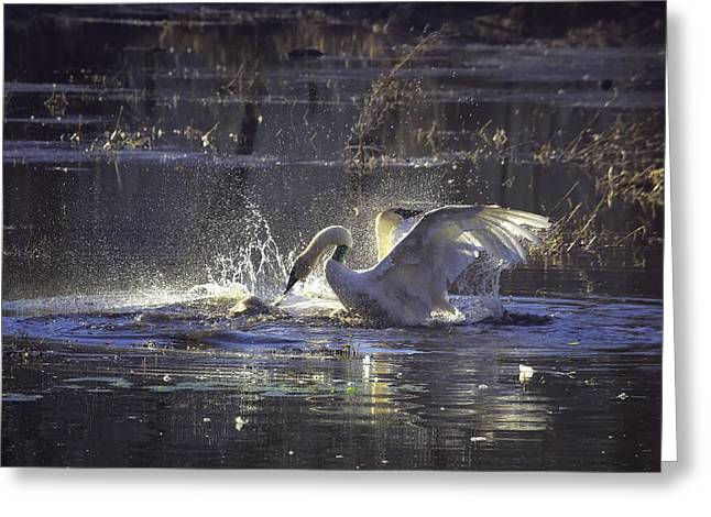Fighting Swans Boxley Mill Pond Greeting Card by Michael Dougherty
