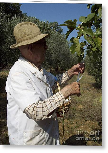 Fig's Harvest In Loppiano Greeting Card
