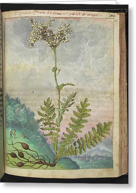 Filipendola Plant Greeting Card