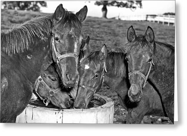 Fillies & Colts Around Barrel Greeting Card by Underwood Archives