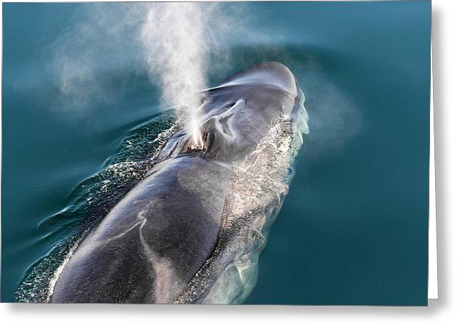 Fin Whale Blowing Greeting Card