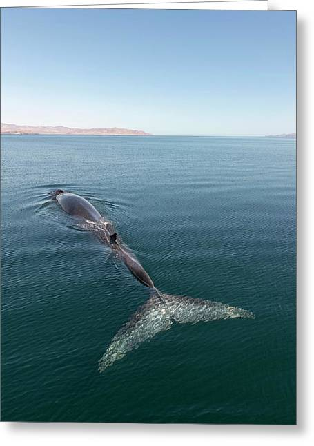 Fin Whale Greeting Card by Christopher Swann