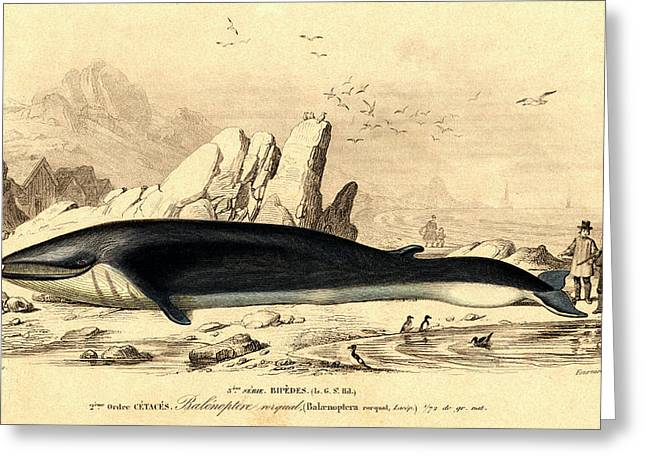 Fin Whale Hunting Greeting Card by Collection Abecasis