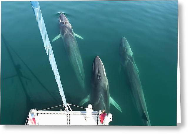 Fin Whales Bowriding Greeting Card by Christopher Swann