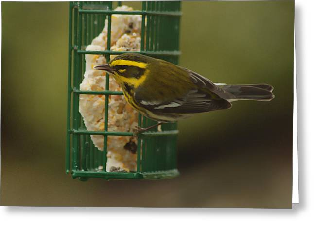 Finch On A Suet Greeting Card by Ron Roberts