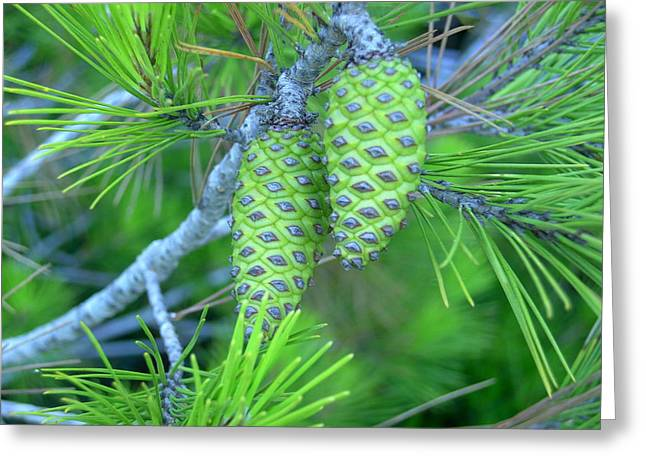 Fir Cones Greeting Card