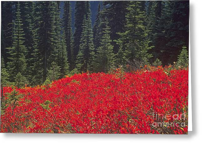 Fir Trees And Fall Color Greeting Card