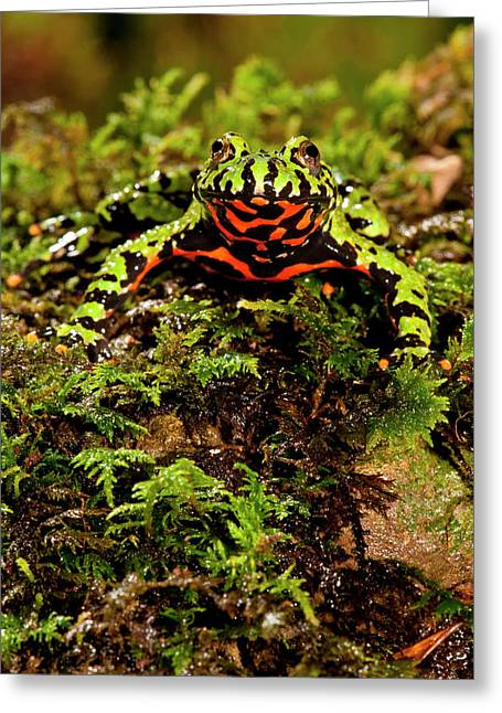 Fire Belly Toad Bombina Orientalis Greeting Card by David Northcott