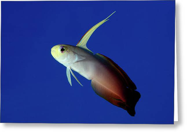 Fire Goby Greeting Card by Nigel Downer