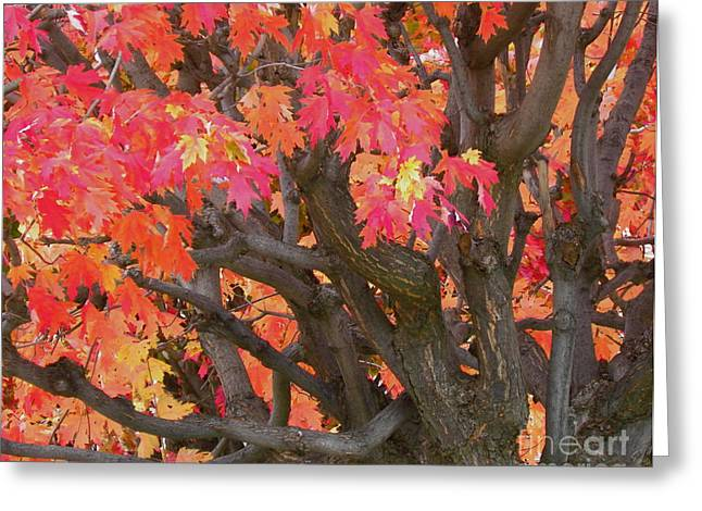 Fire Maple Greeting Card by Laura Yamada